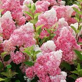 "Aujourd'hui, nous débutons notre série hebdomadaire « création Pépinières Renault » où nous vous présenterons chaque lundi une de nos innovations.  Cette semaine, nous vous présentons l'hydrangea paniculata Vanille Fraise! Créé par Jean Thierry Eric Renault, cette plante est maintenant mondialement connu! En fleurs, cet hortensia offre un extraordinaire camaïeu de panicules parfaites : blanc au milieu de l'été devenant rapidement rose, puis rouge foncé.  Today, we're starting our weekly series called ""creation Pepinieres Renault"" where we present every Monday one of our innovations.  This week, we're starting with the hydrangea paniculata Vanille Fraise! Created by Jean Thierry Eric Renault, this plant is now famous worldwide! Flowering in the summer, this variety has an extraordinary cameo of perfect panicles: white in the height of summer, quickly turning pink, then dark red.  #hydrangeas #hydrangea #paniculata #vanillefraise #vanillastrawberry #pepinieres #renault #plants #plantes #innovation"