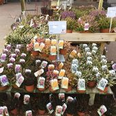 Diverses bruyères Erica darleyensis présentées en jardinerie #plantes #bruyeres #jardinerie #pepinieres #pepinieresrenault