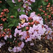 Aujourd'hui on voulait vous parler des Lagerstroemia Indica. Appelé aussi Lila d'été ce petit arbuste vous fera de l'œil tout l'été avec ses couleurs vives. Résistant au froid et à l'oïdium le lagerstroemia est le meilleur compagnon des jardins au Nord de la Loire. A la pépinière on a choisi les superbes variétés Sapho : Camaïeu d'été, Violet d'été, Fuschsia d'été et Braise d'été. . . Today let's talk about Lagerstroemia Indica. Its colors will charm you all summer with its bright colors. Resistant to cold winters and oïdium, lagerstroemia are perfect for nothern garden. At Pepinieres Renault we choose the superb varieties from Sapho : Camaïeu d'été, Violet d'été, Fuchsia d'été and Braise d'été. . #nusery #pepinieresrenault #lagerstroemia #liladesindes #nofilter #color #couleur #summer #été