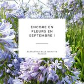 L'agapanthe BLUE INFINITY ® 'Panaga' est impressionnante grâce à sa longue floraison de mai à fin septembre. Ces inflorescences sont également extraordinaires car elles peuvent atteindre jusqu'à 30cm de diamètre ! . . Agapanthus BLUE INFINITY ® 'Panaga' is remarkable thanks to its long flowering from may to end of september. Its flowerheads are also exceptional with sometimes a size of 30 cm diameter. . #pepinieresrenault #agapanthus #nursery #vivaces #fleurs #flowers #blueinfinity