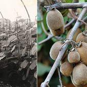 """Aujourd'hui dans notre série """"Histoire des Pépinières Renault"""" nous allons parler d'une variété chère à l'entreprise, le Kiwi. Dès 1961 la pépinière cultive des Actinidia chinensis et lance un verger expérimental. Plus de 2,000m2 de serres sont alors consacrés à la culture du Kiwi. La production atteindra jusqu'à 250,000 plantes à la fin des années 70. Cela aboutira en 2009 à la création d'une variété Renault l'Actinidia deliciosa SOLISSIMO® 'Renact'. . . Today in our serie """"Pepinieres Renault History"""" we will talk about a plant very important in the nursery's history, the Kiwi. Since 1961 the nursery cultivates Actinidia chinensis and starts an experimental orchard. Over 2,000 m2 of glasshouse were dedicated to kiwi's culture. The overall production then reaches 250,000 plants at the end of the 70s. This will result to the launch of our own variety, Actinidia deliciosa SOLISSIMO® 'Renact'. . #pepinieres #kiwi #actinidia #history #archives"""