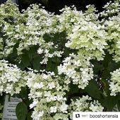 Hydrangea Paniculata Pastel Green® en photo par @booshortensia @terrabotanica 😍 . #pepinieresrenault #hydrangea #paniculata #repost