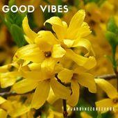 Le printemps arrive... #forsythia #jardinezchezvous #goodvibes #spring #pepinieresrenault #plantsaddict #yellow #flowers
