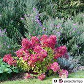 Hydrangea Paniculata Diamant Rouge ® 'rendia' from @pepinieresrenault by @peterplantipp 😍  #pepinieresrenault #hydrangea #paniculata #creation