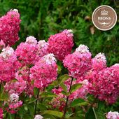 Heureux d'annoncer que notre nouvelle création l'hydrangea paniculata Framboisine® 'Rensam' a gagné une médaille de bronze à Plantarium 2019 (Boskoop). Le début d'une success story on en est sûr. . Proud to announce that our new creation, hydrangea paniculata Framboisine® 'Rensam' has won a bronze medal at Plantarium 2019 (Boskoop). A success story is coming... . . #pepinieresrenault #hydrangea #paniculata #framboisine #rensam #plantarium #creation #nofilter #nursery