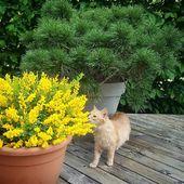 Notre Cytisus racemosus Phebus® au doux parfum citronné fait un adepte ! #pepinieresrenault #cytisus #plantsaddict #yellow #catswithplants #springcolors #flowersaddict #flowerinstagram #pinus #jardinezchezvous