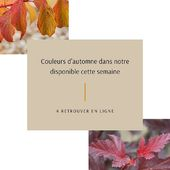 Les belles couleurs d'automne pointent leur bout du nez dans notre disponible cette semaine. Avec notamment les cornus, les nandina, physocarpus et loropetalum. Créez dès maintenant votre jardin d'automne. . . The lovely autumn colours are coming in our stock list. With for instance the cornus, nandina, physocarpus and loropetalum. Let's create from now your autumn garden. . #pepinieresrenault #nursery #automne #autumn #fall #cornus #physocarpus #loropetalum #nandina #colours