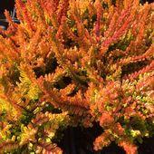 Calluna vulgaris Zoe  La nouvelle bruyère orangée de feu  #bruyere #plantes #pepinieres #nouveauté