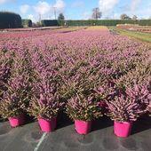 Nos bruyères d'hiver commencent à fleurir.. #plantes #plants #bruyeres #heathers #hiver #winter #pepiniere #mayenne