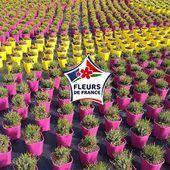 Le Made in France c'est aussi en pépinières ! Lancé en 2015 le label Fleurs de France certifie que les végétaux ont été produit en France. Nous sommes fiers d'avoir été parmi les premiers à rejoindre le label dès sa création. Ayez désormais le réflexe en repérant le logo sur les fleurs, arbres ou arbustes que vous achetez :-) . . For plants we can also talk about Made in France ! Launched in 2015, the 'Fleurs de France' label certifies that the plants have been produced in France. We are proud to be one of the first to join the label since the creation. From now on think, Fleurs de France when you buy plants :) . #madeinfrance #bruyeres #renault #plants #heather #traceability