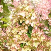 "Cette semaine dans la série « création Pépinières Renault » nous vous présentons l'hydrangea paniculata Pastelgreen! Cet obtention Jean Renault est composé de fleurs à long pédicelle. De mi-juillet à fin septembre, les pétales se colorent, se bordent, se panachent harmonieusement de blanc, crème, vert pâle, vert pistache, rose dragée, rose framboise... Une harmonieuse palette de couleurs! Médaille d'argent à Plantarium 2016.  This week in the series ""creation Pepinieres Renault"" we are presenting the Hydrangea paniculata Pastelgreen! This breeding by Jean Renault has flowers with long pedicels. From mid-July to end of September, the petals change colour, get an outline, offer a harmonious mix of white, cream, pale green, pistachio green, sweet pink, raspberry pink... A delicate range of pastels! Silver medal at Plantarium 2016.  #hydrangea #hydrangeas #paniculata #pastelgreen #plante #plantes #plant #plants #creation #innovation #nouveauté #pepiniere #pepinieres #renault"