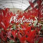 Maginifique couleur rouge dans les tunnels avec les jeunes pousses des Photinia x fraseri 'Red Robin'. . Splendid red colour with the young leaves of the Photinia x fraseri 'Red Robin'. . #pepinieresrenault #nursery #plantsaddict #photinia #colors