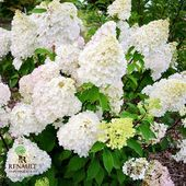 "« Création Pépinières Renault » du jour: l'hydrangea paniculata Diamantino. Obtention Jean Renault, les inflorescences de cet hydrangea sont de forme plus ronde que les autres variétés d'hydrangea paniculata. Tout d'abord vert-jaune, les panicules deviennent blanches, pour terminer roses à maturité. ""Creation Pepinieres Renault"" of the day: hydrangea paniculata Diamantino. Breeding from Jean Renault, the inflorescences of this hydrangea have a rounder shape than the other varieties of hydrangea paniculata. Yellow-green at first, the panicles become white and then pink at maturity.  #hydrangeas #hydrangea #paniculata #diamantino #plante #plantes #plant #plants #creation #innovation #pepiniere #pepinieres #renault"