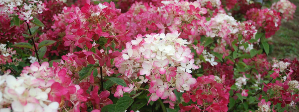 hydrangea-paniculata-diamantrouge